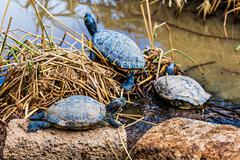 Turtles or tortoises on swamp - stock photo