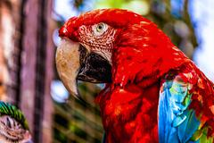 Red Macaw or Ara cockatoos parrot closeup - stock photo