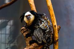 Monkey white-faced capuchin - stock photo