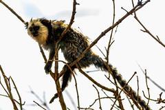 Monkey white-faced capuchin Stock Photos