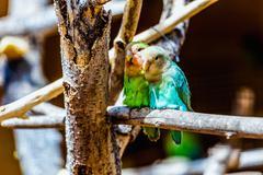 Peach-faced Lovebirds parrots - stock photo