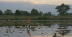 Branch of Water`s Plant Upon the Pond Stock Footage