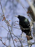 European Starling shows off its intriguing coloration Stock Photos