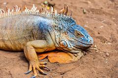 Closeup of iguana or lizard - stock photo