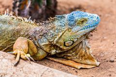Closeup of iguana or lizard Stock Photos
