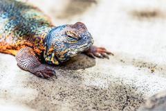 Lizard or lacertian reptile - stock photo