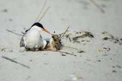 Stock Photo of Common Tern bird bonding with chick on beach