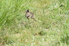 Rabbit bobbing through field of tall grass - stock photo