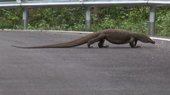 A Massive Lizard Crosses The Road Stock Footage