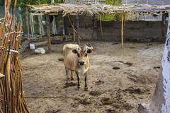 cown in an animal Farm - stock photo