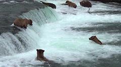 Five Alaskan Brown Bears Fishing for Salmon - One Fish Jumps Stock Footage