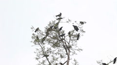 Group of crows squawking in tree - stock footage