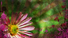 Pink Easter Daisy 1080  background - stock footage