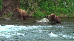 Two Brown Bears in a salmon river are cautious of one another - stock footage