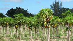 Papaya plantation in southeastern Florida Stock Footage