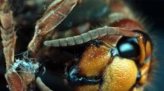 Dead hornet vespa crabro orbital shot 2/6 Stock Footage