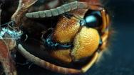 Dead hornet vespa crabro orbital shot 3/6 Stock Footage