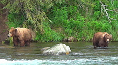 Brown Bear Behavior:  Two Brown Bears in River are Leery of One Another - stock footage