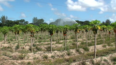 Irrigating of the Papaya plantation in southeastern Florida, USA. Stock Footage