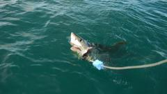 Lazy Great White Shark GRABS bait - stock footage