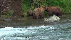 Two Brown Bears Interact in Salmon River - stock footage