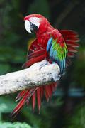 Greenwinged Macaw - stock photo