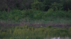 Small marsh bird flying over the marsh in slow motion Stock Footage