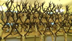 Deer antlers horn and skull hunters collection in room Stock Footage