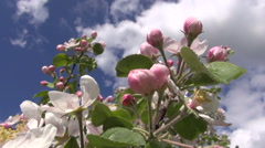Fresh apple tree buds and blossoms in spring Stock Footage