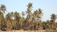 Stock Video Footage of coconut palm trees near the coastline