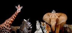 A group of animals are together on a black background with text area. Animals - stock photo