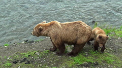 Zoom in on Brown Bear Cub Behind Sow on River Bank Stock Footage