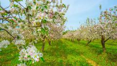 Blossoming apple orchard, time-lapse with slider Stock Footage