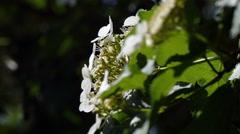 Flowers bird cherry Stock Footage