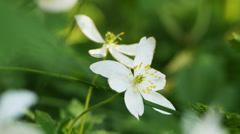 White wood anemone (Anemone nemorosa) close-up Stock Footage