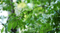 White flowering fresh Bird Cherry/ Hackberry (Prunus padus) swaying in soft bree Stock Footage