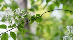 White flowering fresh Bird Cherry/ Hackberry (Prunus padus) swaying soft breeze Stock Footage