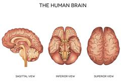 Human brain detailed anatomy Stock Illustration