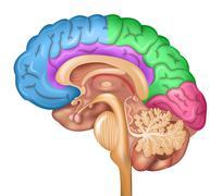 Human brain lobes - stock illustration