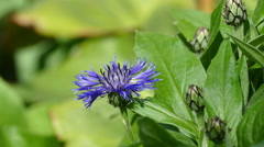 Blue garden flower and bee summer in Russia on a clear day UHD Stock Footage