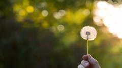 Blowing on a Dandelion - stock footage