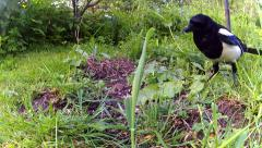 Magpie foraging 01 Stock Footage