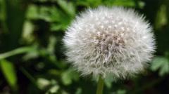 Spherical dandelion on a green background 4K Stock Footage