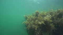 Algae float on a rock in the blue sea in slow motion Stock Footage