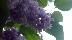 Lilac summer in Russia on a clear day UHD Stock Footage