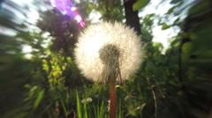 Dandelion at Sunset 4k - stock footage