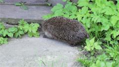 Hedgehog running Stock Footage