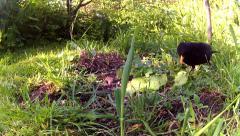 Male Blackbird eating seeds 01 Stock Footage