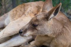 Relaxing Kangaroo Kuvituskuvat