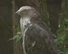 European honey buzzard  (Pernis apivorus) perched - side view Stock Footage